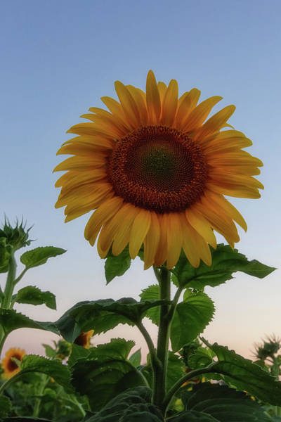 Wall Art - Photograph - Sunflowers 4 by Heather Kenward