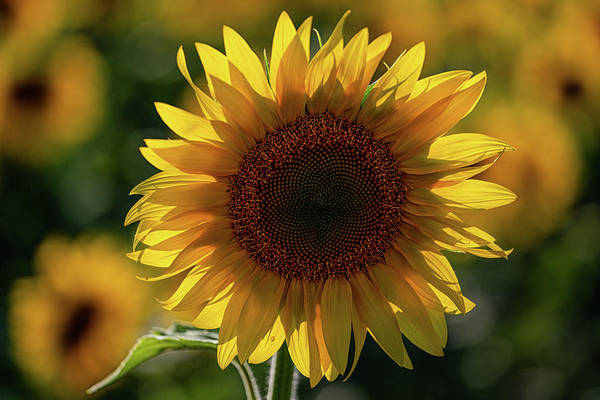 Wall Art - Photograph - Sunflowers 6 by Heather Kenward