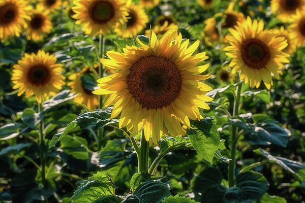 Wall Art - Photograph - Sunflowers 7 by Heather Kenward
