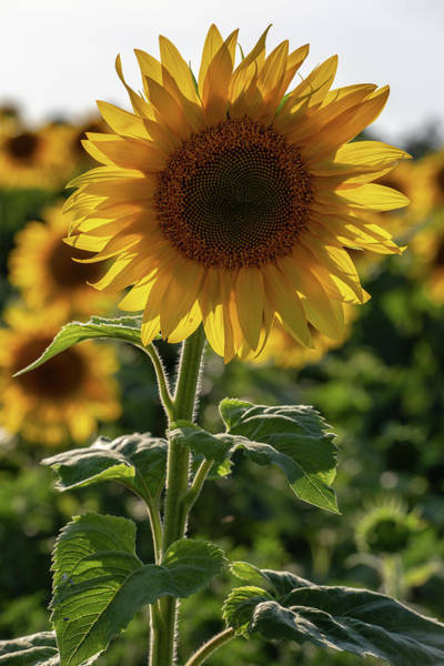 Wall Art - Photograph - Sunflowers 9 by Heather Kenward