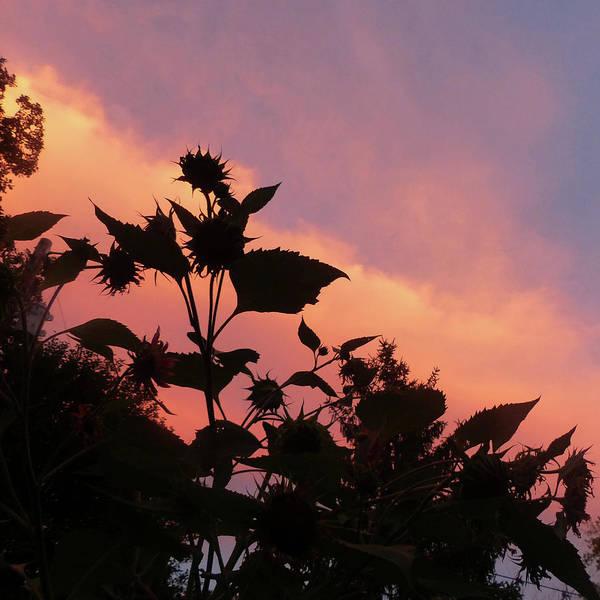 Photograph - Sunflowers Against A Pink Sky by Rosanne Licciardi