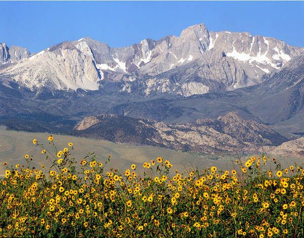 Photograph - 2a6742-sunflowers And Mount Humphreys  by Ed  Cooper Photography