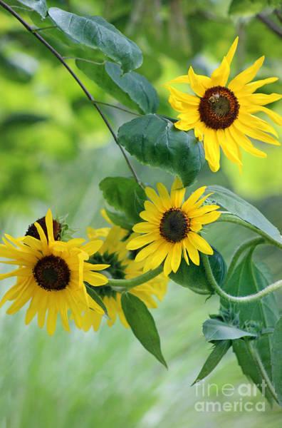 Photograph - Sunflowers And Redbud by Karen Adams