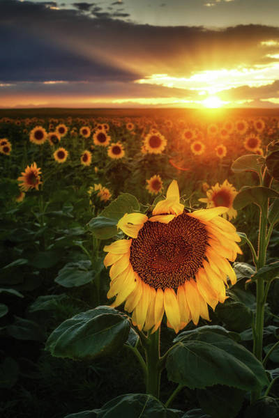Photograph - Sunflowers And Sunrays by John De Bord