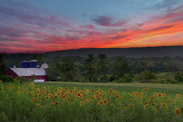 Photograph - Sunflowers And Sunset by Bill Wakeley