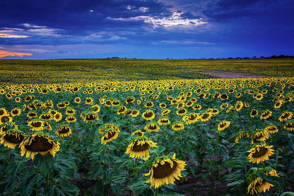Photograph - Sunflowers At Blue Hour by John De Bord