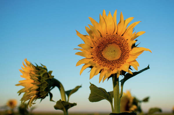 Photograph - Sunflowers At Sunrise 1 by Stephen Holst