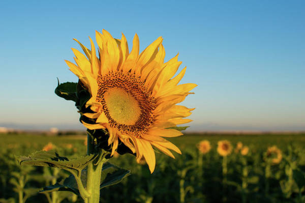 Photograph - Sunflowers At Sunrise 2 by Stephen Holst