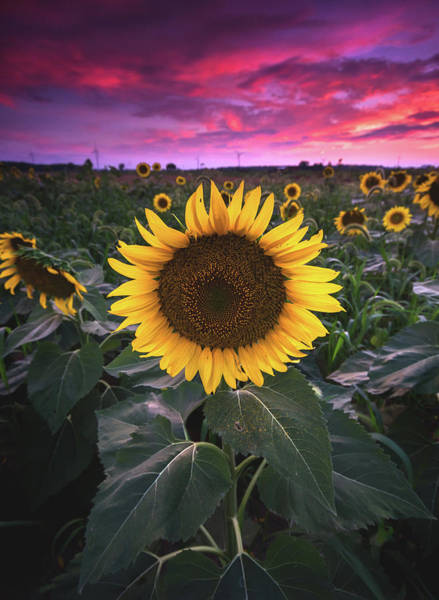 Wall Art - Photograph - Sunflowers At Sunset by Cale Best