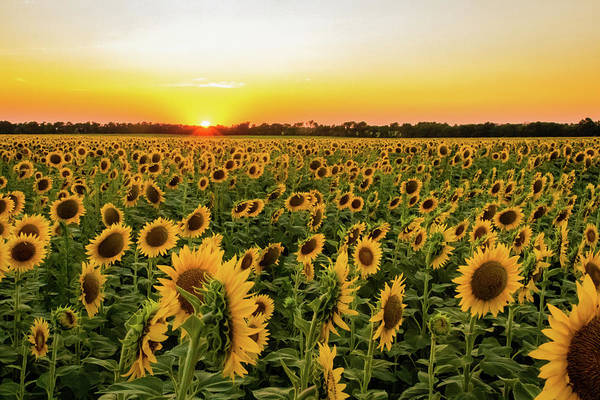 Photograph - Sunflowers At Sunset by Jay Stockhaus