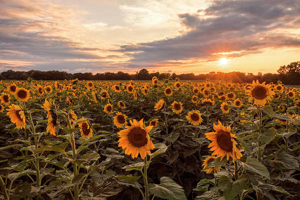 Photograph - Sunflowers At Sunset by Scott Bean