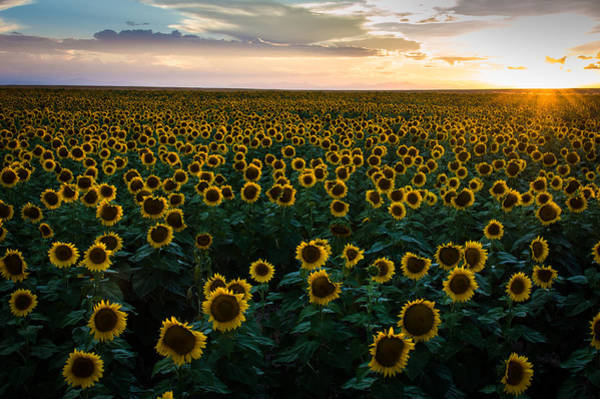 Photograph - Sunflowers At Sunset by Stephen Holst