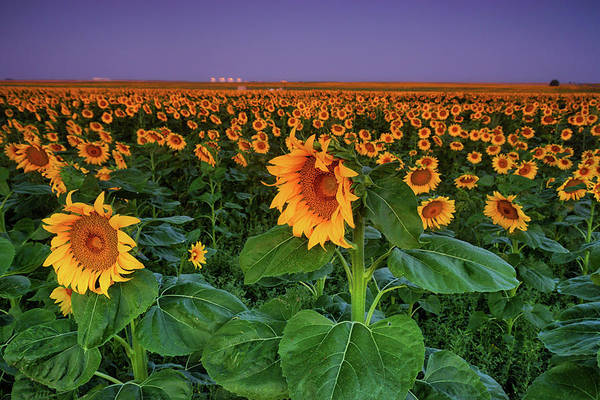 Photograph - Sunflowers Before Dawn by John De Bord