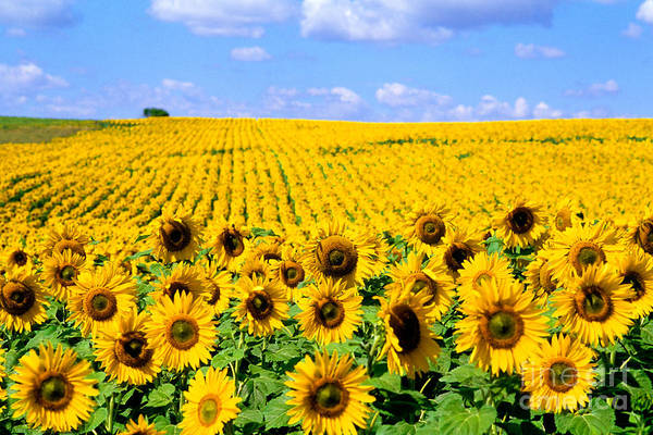 Photograph - Sunflowers by Bill Bachmann and Photo Researchers