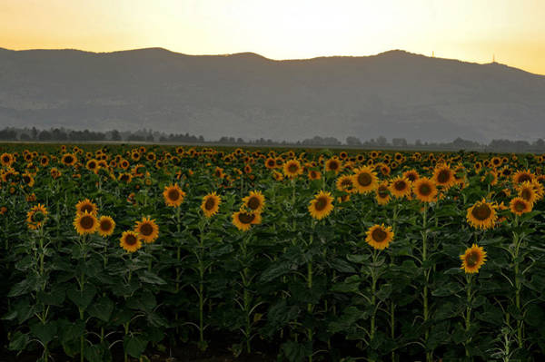 Photograph - Sunflowers by Dubi Roman