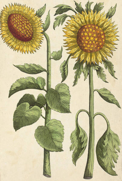 Baroque Drawing - Sunflowers Illustration From Florilegium by Emanuel Sweert