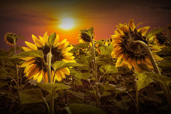 Photograph - Sunflowers Facing The Sunset by Randall Nyhof