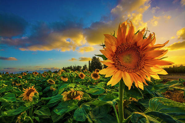 Wall Art - Digital Art - Sunflowers Field At Sunset  by Tsafreer Bernstein