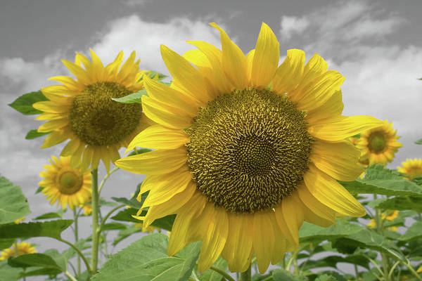 Sunflower Seeds Photograph - Sunflowers IIi by Dylan Punke
