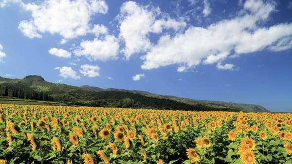 Sunflowers In Waialua Art Print