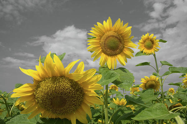 Photograph - Sunflowers Iv by Dylan Punke