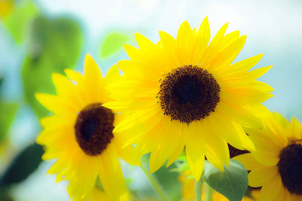 Photograph - Sunflowers by John Forde