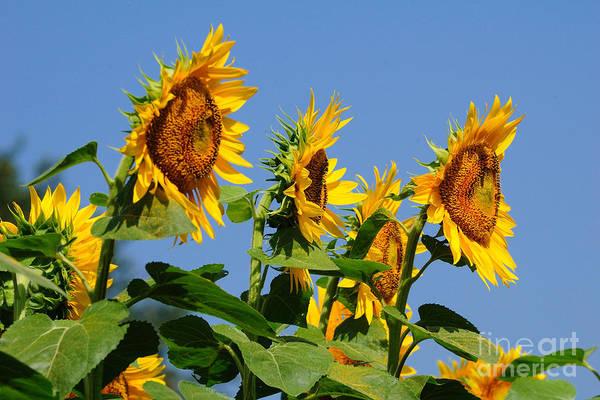 Wall Art - Photograph - Sunflowers Looking East by Edward Sobuta