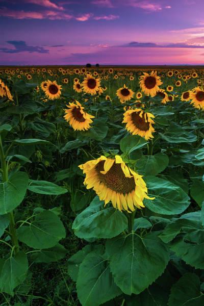 Photograph - Sunflowers Of An August Summer by John De Bord