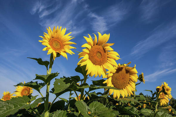 Photograph - Sunflowers Of Hope by Lon Dittrick