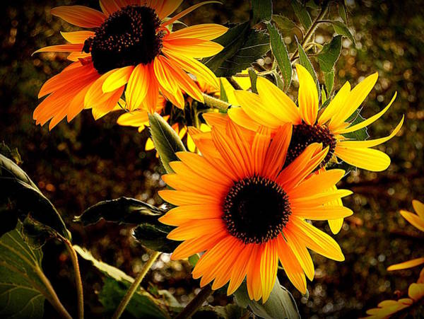 Ish Wall Art - Photograph - Sunflowers On Plymouth Road by Richard Johnson