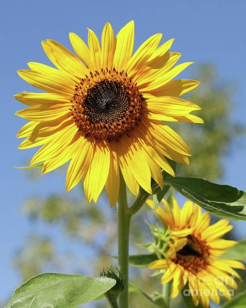 Photograph - Sunflowers by Sabrina L Ryan
