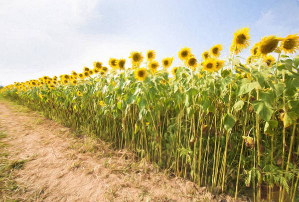 Photograph - Sunflowers To Infinity by Natalie Rotman Cote