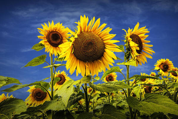 Photograph - Sunflowers Under A Blue Sky by Randall Nyhof