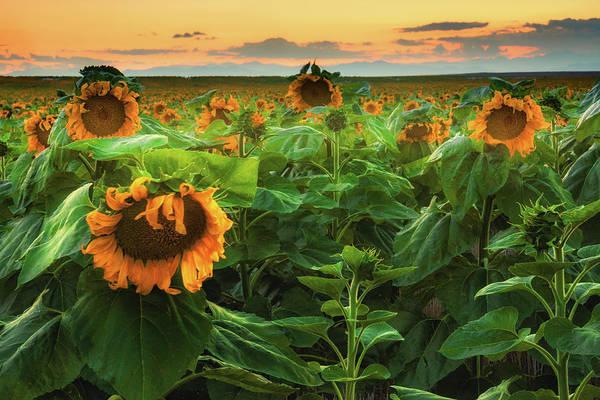 Photograph - Sunflowers Under A Colorado Sunset    by John De Bord