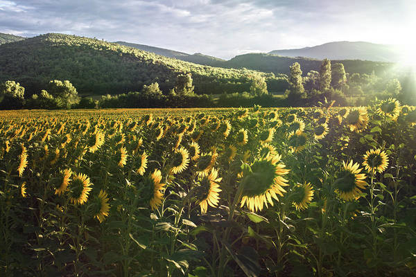 Photograph - Sunflowers Wake Up, France by Jean Gill