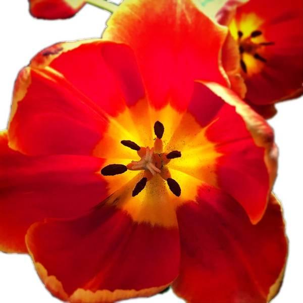 Sunkissed Tulips Art Print