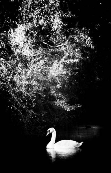 Photograph - Sunlight And Swan  by Cliff Norton