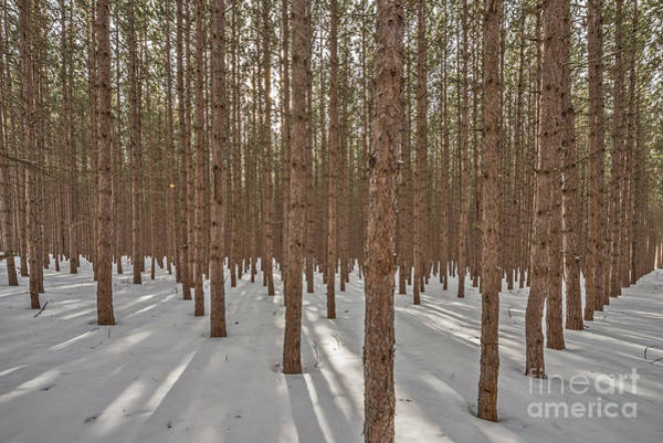 Photograph - Sunlight Filtering Through A Pine Forest by Sue Smith