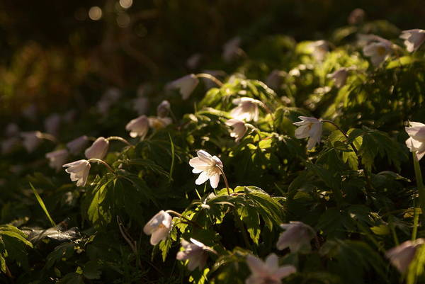 Photograph - Sunlight Filtering Through The Trees Onto The Daisies. by Colin Clarke