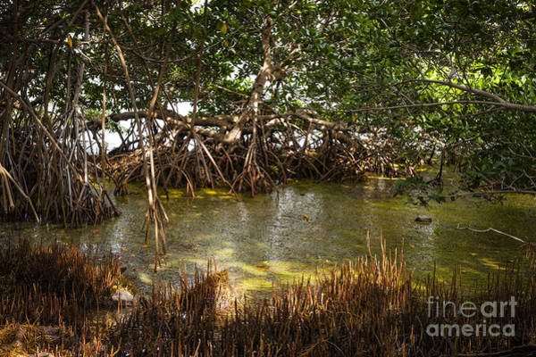 Photograph - Sunlight In Mangrove Forest by Elena Elisseeva