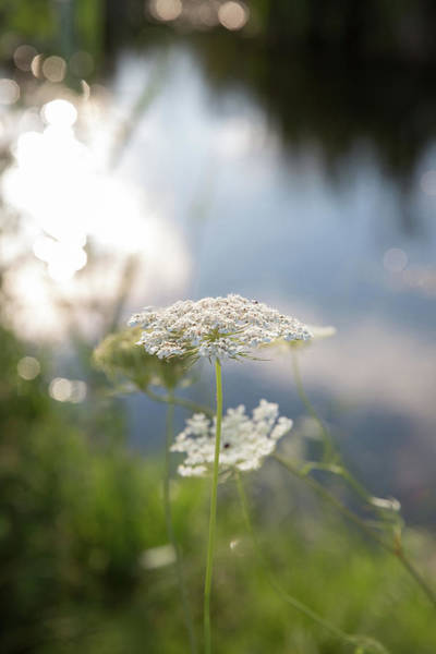 Photograph - Sunlit Lace by Sara Hudock