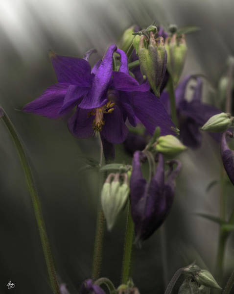 Photograph - Sunlight On Columbine by Wayne King