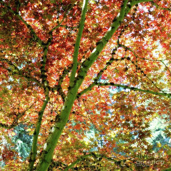 Wall Art - Photograph - Sunlight Through Maple Leaves by Carol Groenen