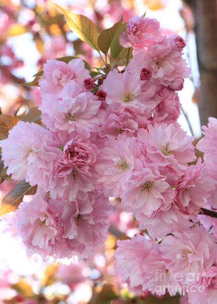 Photograph - Sunlight Through Pink Blossoms by Carol Groenen
