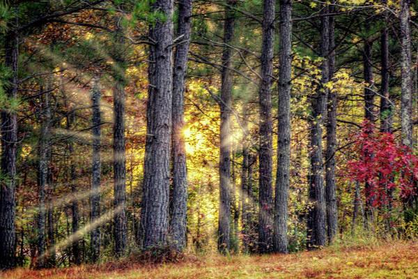 Photograph - Sunlight Through The Pines by Barry Jones