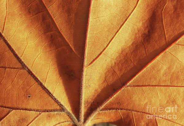 Photograph - Sunlit Autumn Leaf by Karen Adams