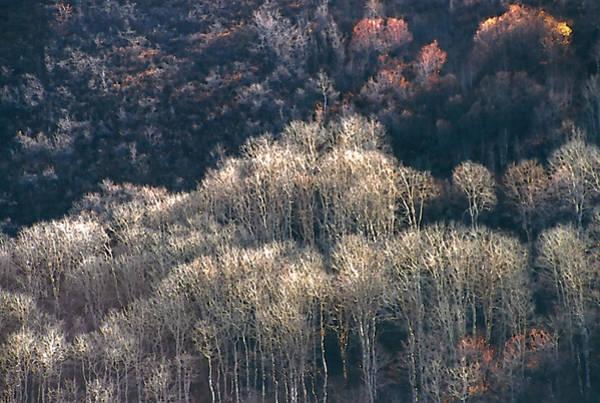 Sunlit Bare Autumn Aspens 1 Art Print