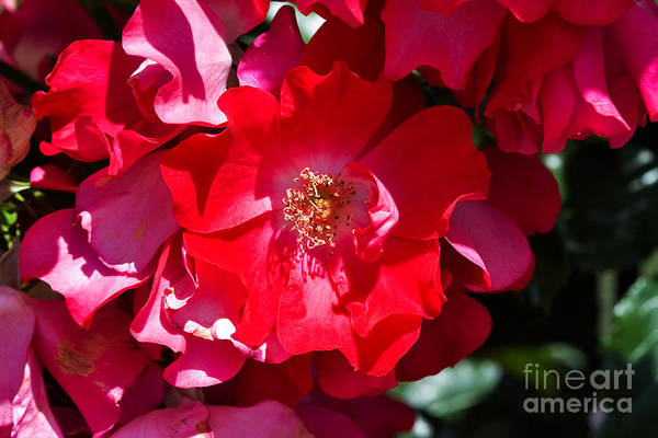 Wall Art - Photograph - Sunlit Blooms Of Dortmund Hybrid Scots Briar Rose by Louise Heusinkveld
