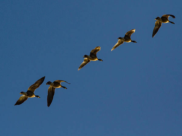 Gander Photograph - Sunlit Canada Geese In Flight by Jean Noren