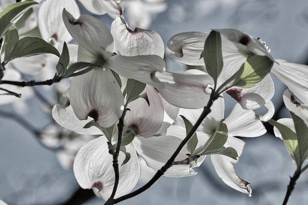 Photograph - Sunlit Dogwood by Harold Rau